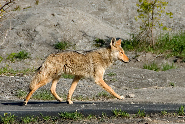 Fred Elser First Sunday Science Series at the Seaside Center. Living with Coyotes