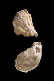 eastern oyster drawing - photo #23