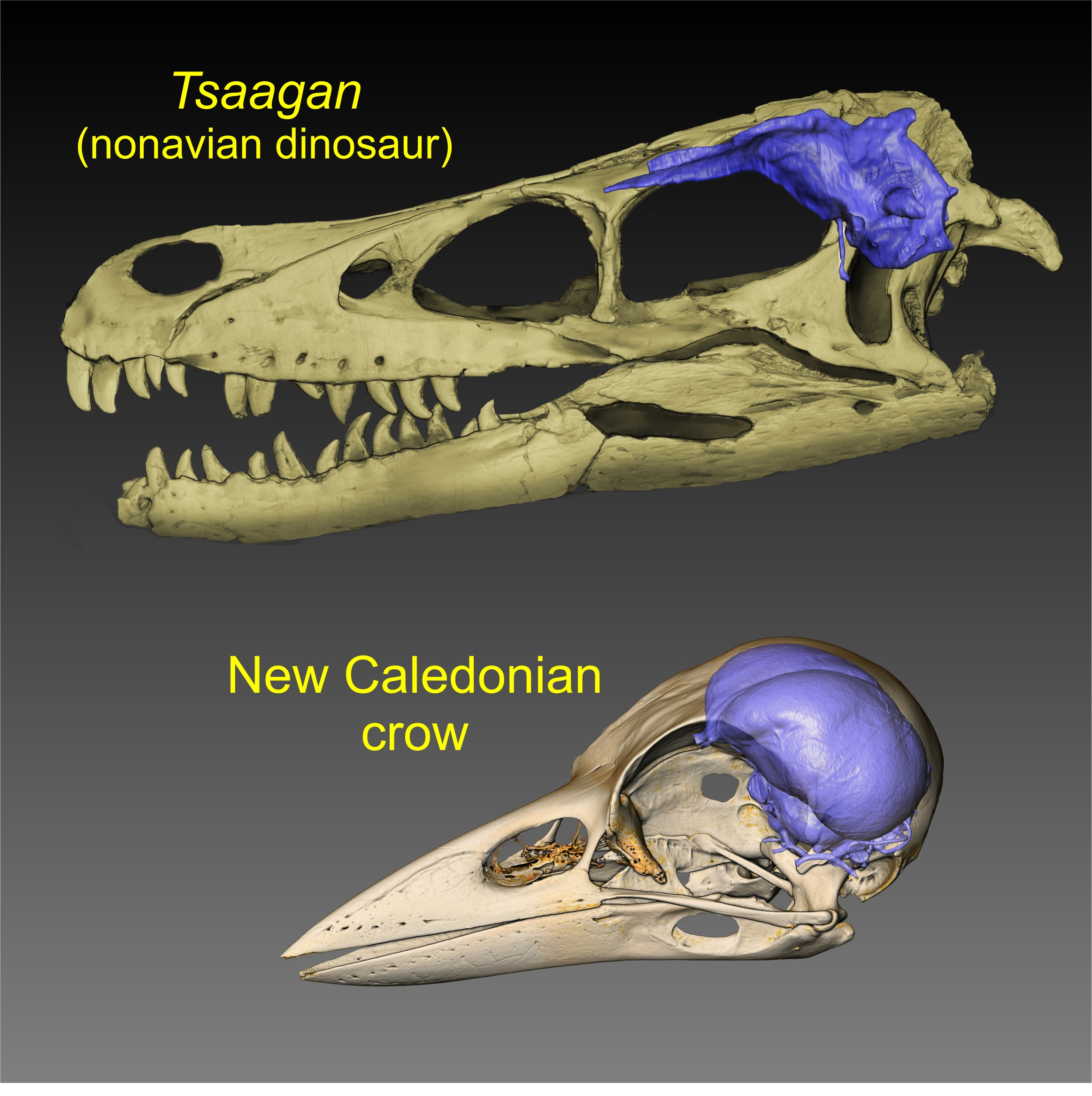 Visualizations of brain endocasts (blue) from the skulls of a dinosaur and a modern bird. Image courtesy of WitmerLab at Ohio University